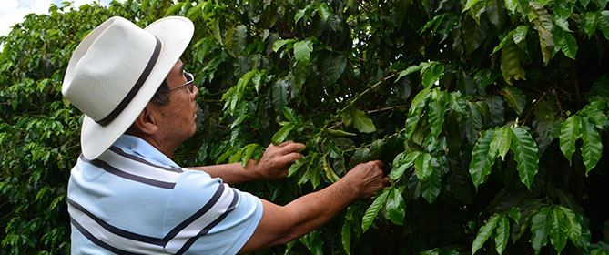 Yuki's father inspects coffee tree.