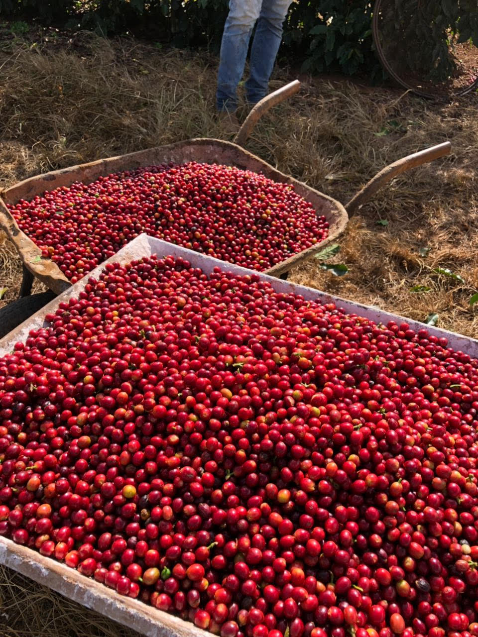 Coffee cherries fresh from the field